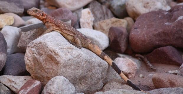 Chuckawalla in the Rocks at 75 Mile Canyon