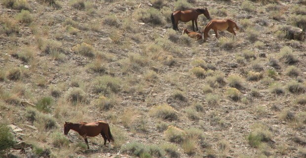 Wild Horses are a Common Site in Desolation Canyon