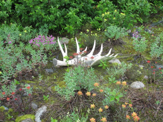 Moose antler surrounded by wildflowers on the Tatshenshini River.