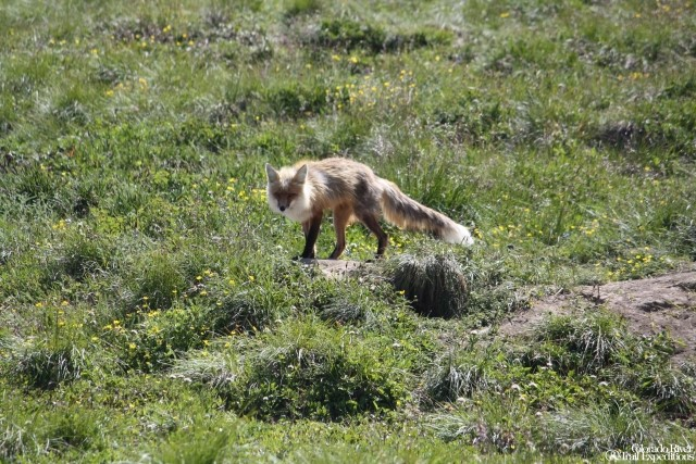 Fox seen on a Tatshenshini Rafting Trip.