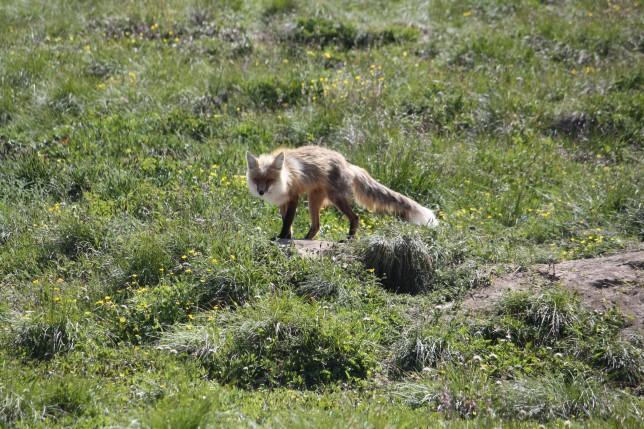 Fox seen on a Tatshenshini Rafting Trip.