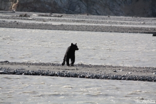 A black bear shaking off after swimming across part of the Tatshenshini river.