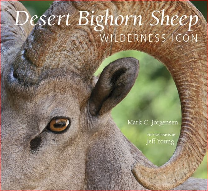 desert_bighorn